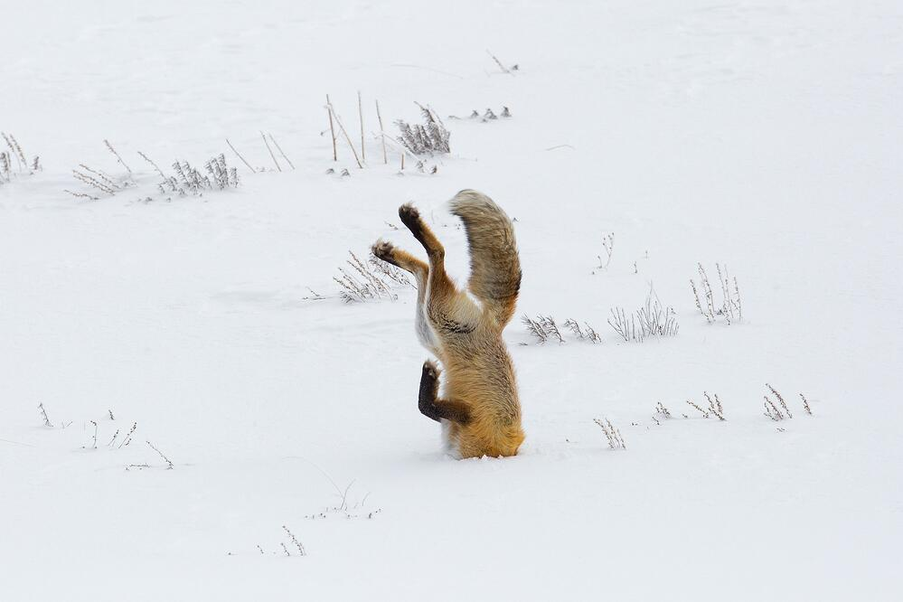 Fox with its head buried after diving into snow