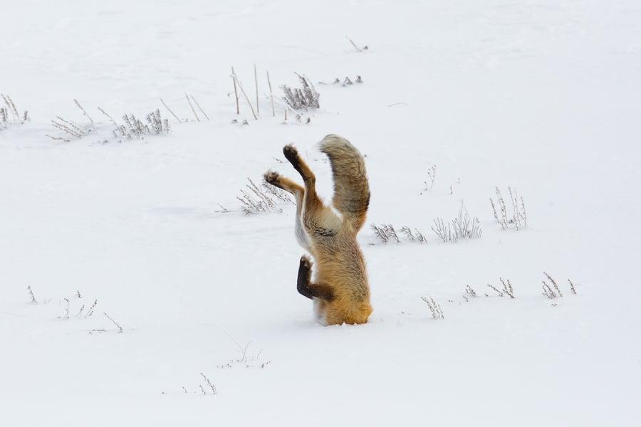 fox-3848307_1920